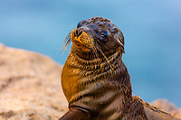 Cute baby fur seal close-up portrait, on the beautiful Floreana Island in the Galapagos Archipelago, Ecuador