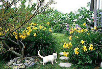 HD06-009x  English Cottage Garden - cat, yellow day lilies, bearded iris - Hemerocallis spp, Iris spp.