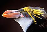 Royal penguin, Macquarie Island, Australia