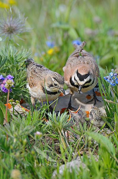 Adult Horned Larks or Shore Larks (Eremophila alpestris) feeding young at nest.  Western U.S., Summer.