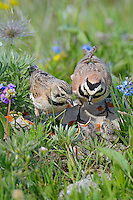 Adult Horned Larks or Shore Larks (Eremophila alpestris) feeding young at nest.  Western U.S., Summer.