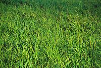 Sugar cane field, Koloa Sugar Company, Kauai