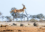 Impala leaps high in the air by Clint Ralph