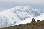 Snow Leopard (Panthera uncia) biologist, Khalil Karimov, looking for wildlife, Pikertyk, Tien Shan Mountains, eastern Kyrgyzstan
