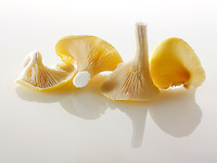 Raw  fresh Yellow Oyster mushrooms