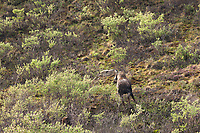 Cow moose defends her newly born calf from the Grant Creek wolf pack in Denali National Park.