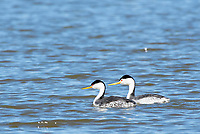 A pair of Clark's Grebes, Aechmophorus clarkii, swims on Upper Klamath Lake, Oregon