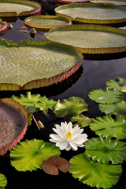 Tropical lily bloom and leaves of Amazon Lilies. Hughes Water Gardens. Oregon