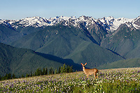 Columbian black-tailed deer (Odocoileus hemionus columbianus) doe in subalpine meadow with Olympic Mountains in background.  Olympic National Park, WA.  Summer.  This is one of the views from Hurricane Ridge looking towards Mount Olympus.