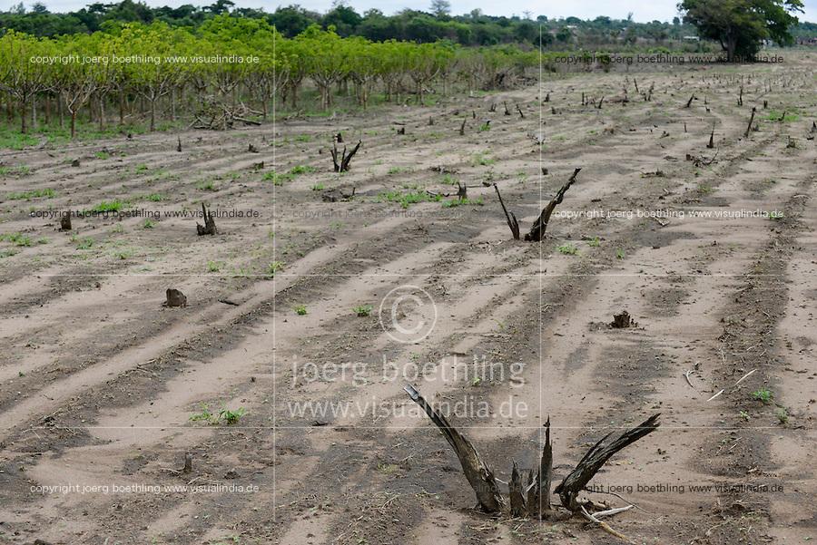 MOZAMBIQUE, Chimoio, BAGC Beira agricultural growth corridor, failed and abandoned 2000 hectare Jatropha farm of Sun Biofuels Mozambique SA which was planted as biofuel project in 2010 at old portuguese tobacco farm, the plan was to reach 10.000 hectares in 2015  / MOSAMBIK, Chimoio, BAGC Beira agricultural growth corridor, gescheiterte und aufgegebene 2000 Hektar Jatropha Farm of Sun Biofuels Mozambique SA, die 2010 als Biosprit Projekt auf einer alten Tabakplantage gepflanzt wurde, laut Planung sollte die Pflanzung 2015 auf 10.000 Hektar ausdehnt werden