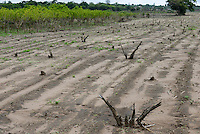 MOZAMBIQUE, Chimoio, BAGC Beira agricultural growth corridor, failed and abandoned 2000 hectare Jatropha farm of Sun Biofuels Mozambique SA which was planted as biofuel project in 2010 at old portuguese tobacco farm, the plan was to reach 10.000 hectares in 2015  / MOSAMBIK, Chimoio, BAGC Beira agricultural growth corridor, gescheiterte und aufgegebene 2000 Hektar Jatropha Farm of Sun Biofuels Mozambique SA, die 2010 als Biosprit Projekt auf einer alten Tabakplantage gepflanzt wurde, laut Planung sollte die Pflanzung 2015 auf 10.000 Hektar ausdehnt werden