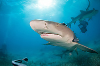 lemon shark, Negaprion brevirostris, Bahamas, Atlantic Ocean