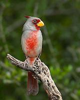 Pyrrhuloxia, El Tecalote Ranch, South Texas
