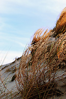 Blowing in the Wind - Sea grasses on the dunes at Long Island beach