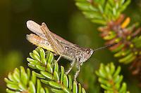 Brauner Grashüpfer, Feldheuschrecke, Männchen, Chorthippus brunneus, Glyptobothrus brunneus, Chorthippus bicolor, Stauroderus brunneus, field grasshopper, common field grasshopper