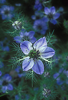 Nigella 'Miss Jekyll' in blue flowers