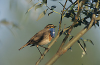 White-spotted Bluethroat, Luscinia svecica cyanecula , male singing, Fretterans, France, Europe
