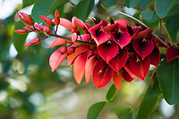 A close-up of the red blossoms of a cockspur coral tree (erythrina crista galli, or ceibo) in Waimea, Big Island.