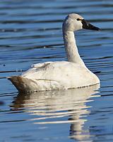Adult tundra swan