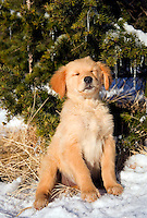 Golden retriever puppy sitting near evergreen tree with snow, seems to be sleeping on the job