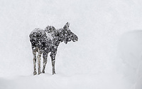 Relentless. It just keeps on snowing. And snowing. This is good on so many fronts yet with the snow pack thickening and increasing, and with more snow forecasted for much of the week, I worry for this young bull moose who has been frequenting our neighborhood and using our narrowing roads to get around. No one, to my knowledge, has seen his mother recently and he may now be trying to survive his first winter alone. I made this photograph this afternoon 100 yards from our cabin in Island Park, Idaho. You can see the snow on the right edge of our road is nearly moose head-high. I guess it's now time to get back to shoveling the roof.