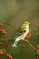 American goldfinch, Spinus tristis, male on branch of American holly berries in winter. Missouri USA