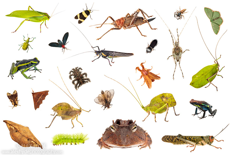 Various amphibians and invertebrates photographed on a white background in mobile field studio from Manu Biosphere Reserve, Amazonia, Peru. November. Digital composite image.