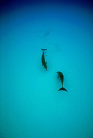 Vertical image of two wild Atlantic Spotted Dolphins (stenella frontalis) playing an artful behavioral dance of ying and yang - White Sand Ridges,North of Grand Bahama Island.
