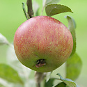 Apple 'King Coffee', mid September. Thought to come from Worcester, and first exhibited in 1934. The name comes from a claim that the apple has a slight taste of coffee.