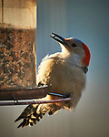 Red-bellied Woodpecker. Image taken with a Nikon D5 camera and 600 mm f/4 VR lens (ISO 1600, 600 mm, f/4, 1/1250 sec)