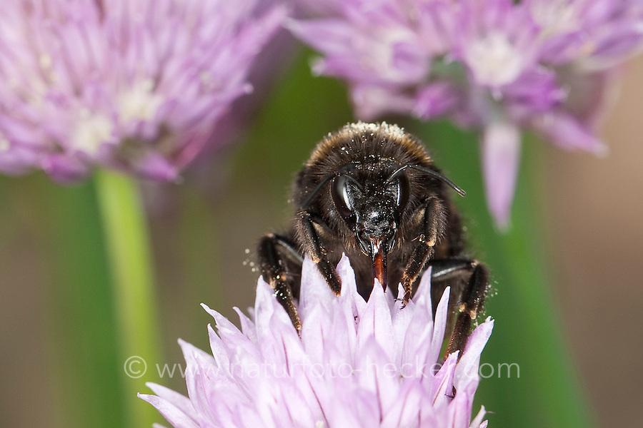 Dunkle Erdhummel, Porträt, Portrait mit Saugrüssel, Bombus terrestris, beim Blütenbesuch auf Schnittlauch, Nektarsuche, Bestäubung, buff-tailed bumble bee