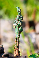 The winery's own vine nursery. Detail of young plants. Detail of the graft on the vine, covered with green wax for protection. Hercegovina Vino, Mostar. Federation Bosne i Hercegovine. Bosnia Herzegovina, Europe.