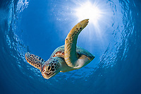 Green sea turtle or Green turtle (Chelonia mydas) diving, Dimakya Island, Palawan, Philippines, Pacific Ocean, Asia