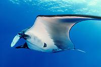 giant oceanic manta ray, Mobula birostris, formerly Manta birostris, San Benedicto Island, Mexico, Pacific Ocean