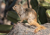 Rock Squirrel, Otospermophilus variegatus, at the Desert Botanical Garden, Phoenix, Arizona