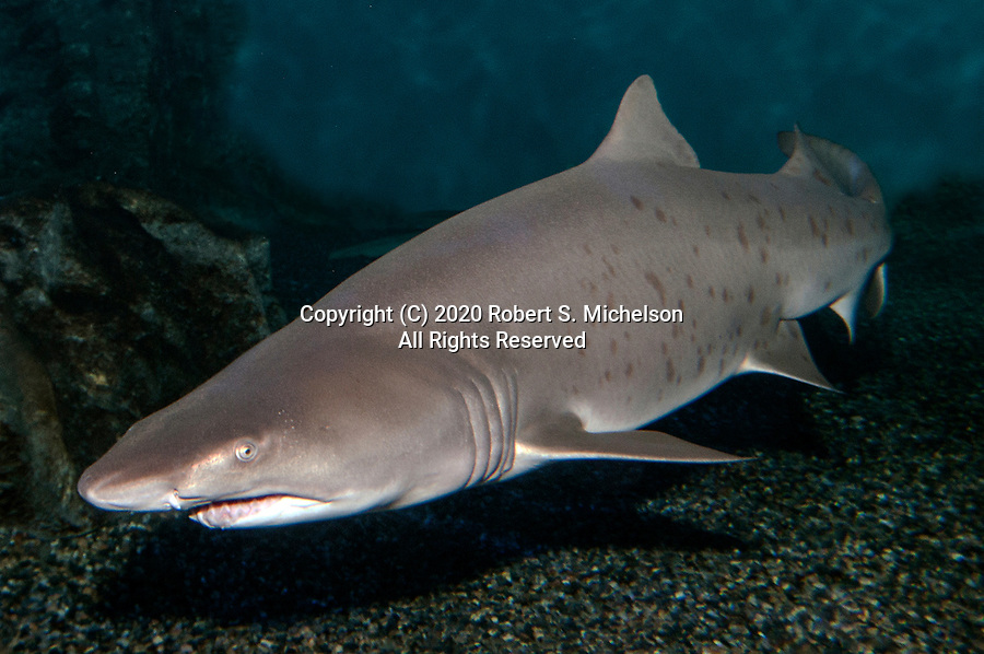 Sand tiger shark swimming 45 degrees to camera