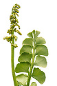 Moonwort (Botrychium lunaria), photographed against a white background in mobile field studio. Nordtirol, Austrian Alps. July.