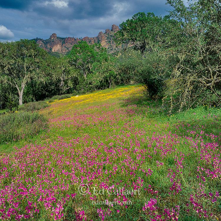 Padre's Shooting Star, Dodecatheon clevelandii, Goldfields, Lasthenia californica, High Peaks, Pinnacles National Park, San Benito County, California