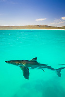 great white shark, Carcharodon carcharias, cruising on the surface, Gansbaai, South Africa