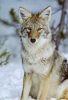 Coyote resting on snowy day.  Western U.S., winter.