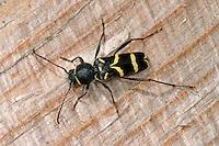 Nadelholz-Widderbock, Schmalfühleriger Widderbock, Nadelholzwidderbock, Clytus lama, longhorn beetle
