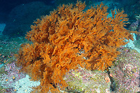 Galapagos black coral, Galapagos archipelago, Ecuador, east Pacific Ocean