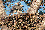 Harpy Eagle chick (Harpia harpyja) (Family Accipitridae) in nest. Pousada Currupira d'Araras, south west Brasil.