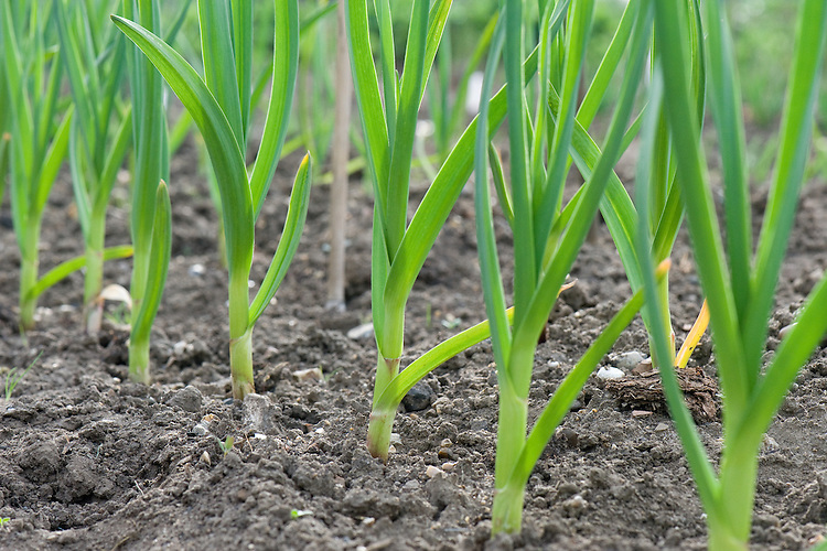 Young garlic 'Iberian', allotment, end april.