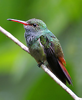 Male rufous-tailed hummingbird