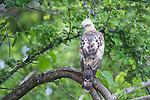 Changeable Hawk Eagle (Spizaetus cirrhatus). Bandhavgarh National Park, Madhya Pradesh, India.