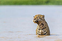 an adult male jaguar, Panthera onca, in the Rio Cuiabá, Mato Grosso, Brazil, South America