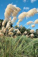 Ornamental Grass Cortaderia fulvida Pampas Grass flower head against blue sky