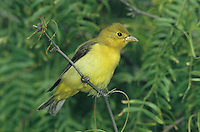 Scarlet Tanager, Piranga olivacea,female on Mesquite tree, South Padre Island, Texas, USA