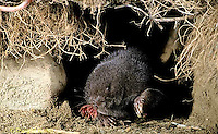 MB05-008z  Star-nosed Mole - moving through tunnel - Condylura cristata